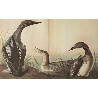 1966 Cottage Print of Arctic Loon by Audubon For Sale