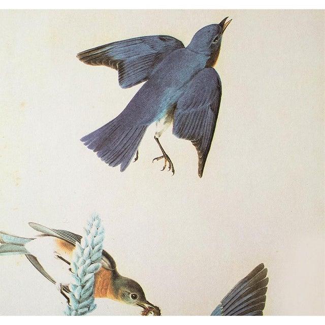 Farmhouse Eastern Bluebird by John James Audubon, Vintage Cottage Print For Sale - Image 3 of 8