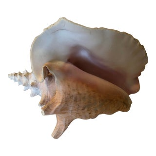 Antique Conch Shell For Sale