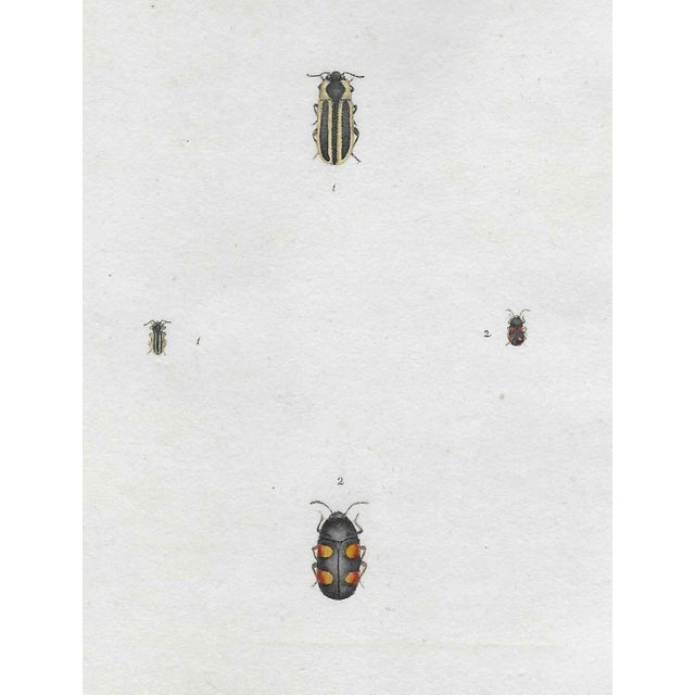 Antique English Insect Engraving For Sale