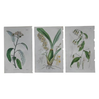 Antique Botanical Engravings - Set of 3