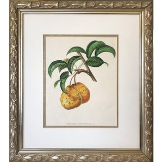 Antique 19th Century French Lithograph of Pear