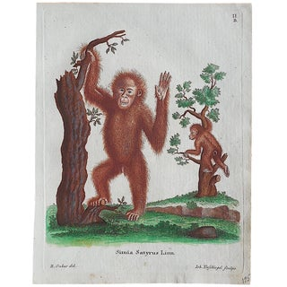 Antique Funky Monkey Copperplate Engraving For Sale
