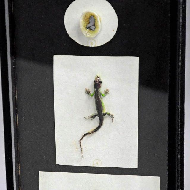 Biology School Model Preparation Evolution Of The Lizard For Sale - Image 4 of 7