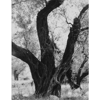 Tree in Rome 1960s Black and White Photograph For Sale