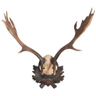 19th Century German Fallow Deer Trophy