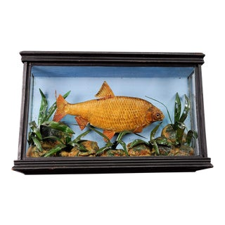 Bream Taxidermy In Glass Showcase Ca. 1900 For Sale