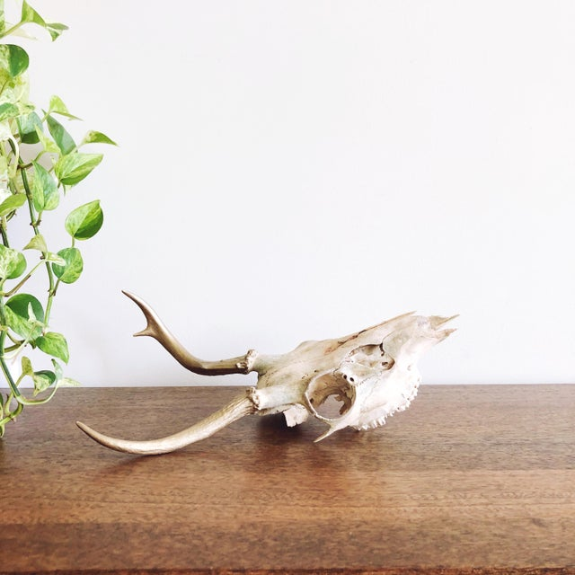 Rustic Vintage Deer Skull With Gold Painted Antlers For Sale - Image 3 of 5