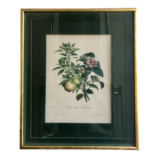 Original Antique Botanical Fruit Print