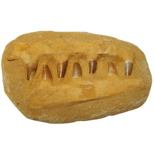 Prehistoric Alligator Jaw Fossil with Teeth
