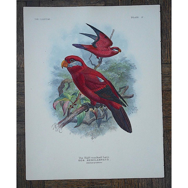 Antique Parrot Lithograph-Hand Colored-The Insular Lori-3/4 Size - Image 2 of 3