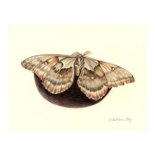 """Naturalist Colored Pencil Drawing, Original, """"Giant Silk Moth 4"""" For Sale"""