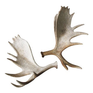 Sun-Bleached Moose Antlers - a Pair For Sale