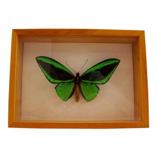 Framed Bright Green Butterfly Ornithoprera Priamus Poseidon