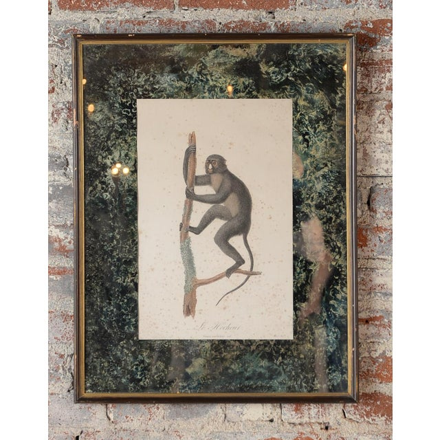 18th-Century colored print of a Black Tamarin Le Hocheur Monkey by Jean Baptiste Audebert. Beautiful antique mirrored...