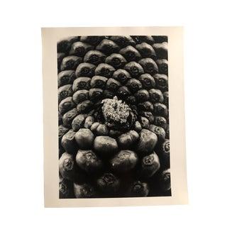 Pine Cone Study Black & White Photo by Garo 1980s For Sale
