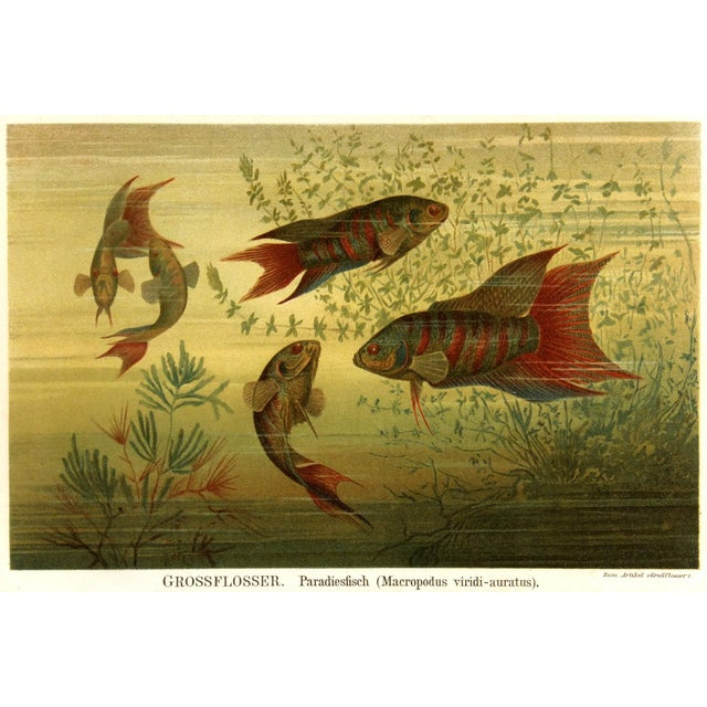 1894 Antique Paradise Fish Stone Lithograph - Image 1 of 3