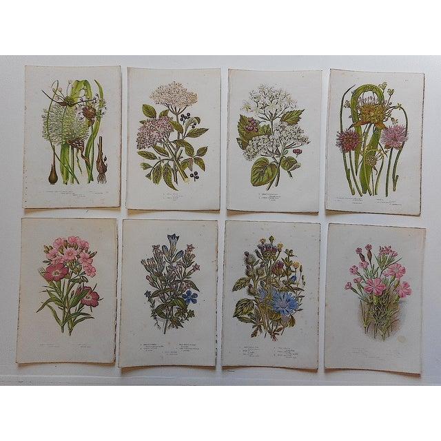Antique Botanical Lithographs - Set of 8 - Image 3 of 3