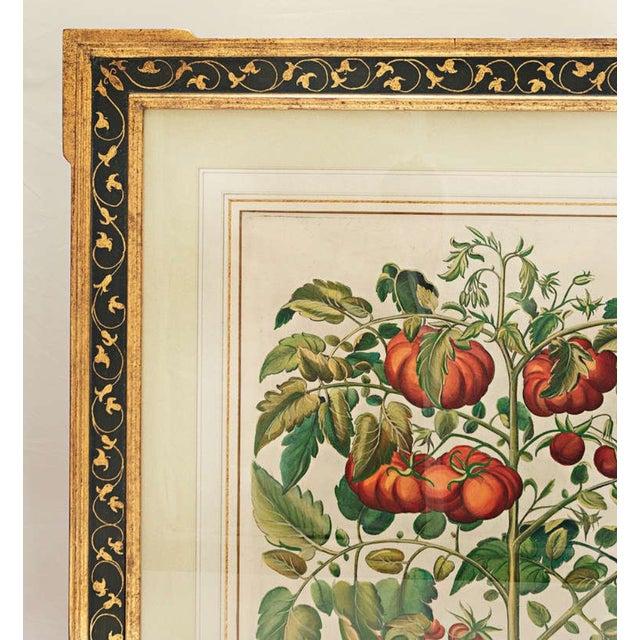 "Cottage Basilius Besler ""Pomaamoris Fructu Rubro"" Botanical Print For Sale - Image 3 of 7"