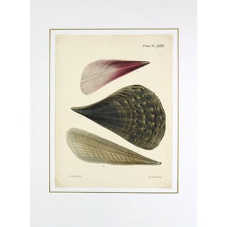 Antique Seashells Lithograph, 1878 For Sale