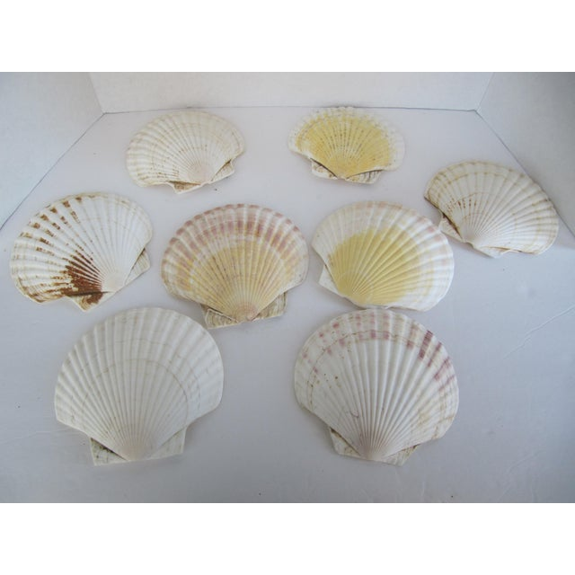 Natural Sea Shells - Set of 8 - Image 2 of 6
