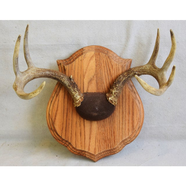 Brown Vintage Mounted Trophy Antlers on Wood Plaque For Sale - Image 8 of 8