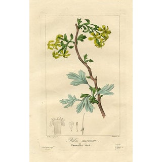 Golden Currant by Pancrace Bessa, 1836 Engraving For Sale