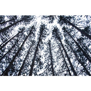 """Pines 1"" Black and White Photograph For Sale"