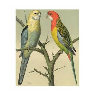 Antique '2 Parrots' Archival Print For Sale