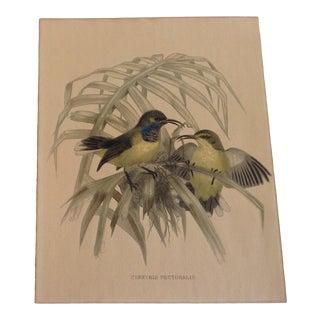 "1910s ""Cinnyris Pectoralis"" Hand Colored Print of Bird For Sale"