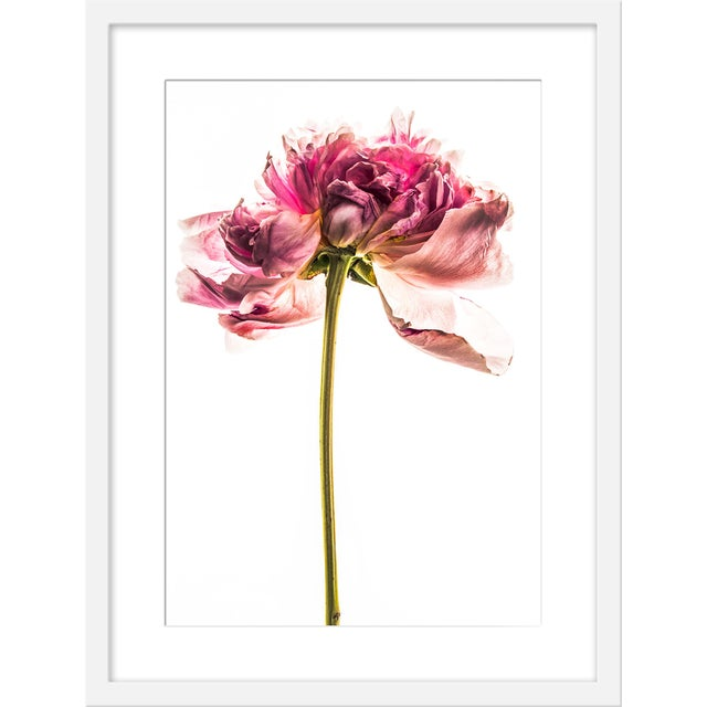 """Contemporary Medium """"Peony in Bloom Ii"""" Print by David Knight, 19"""" X 25"""" For Sale - Image 3 of 3"""