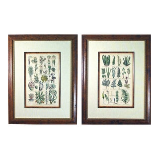John Parkinson 17th Century Botanical Engravings of Mosses & Ferns - a Pair For Sale