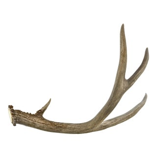 Natural Four-Point Gray Deer Antler