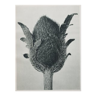 Karl Blossfeldt Double Sided Photogravure