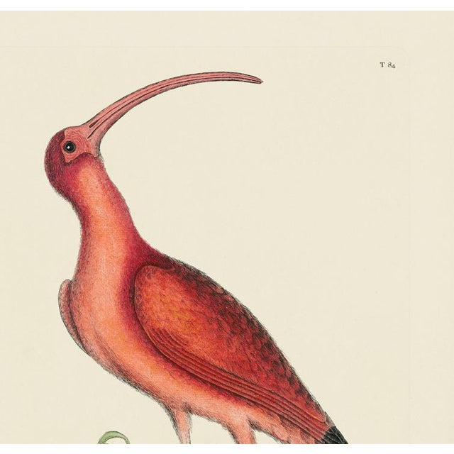This is a special-edition print of the Red Curlew (Plate 84) from Volume I of The Natural History of Carolina, Florida,...