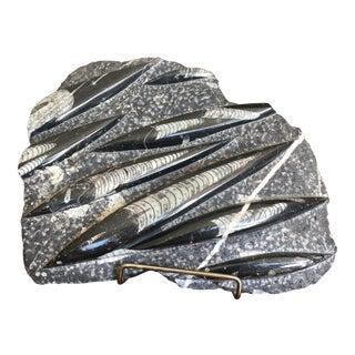 Orthoceras Fossils Into Original Chiseled Matrix For Sale