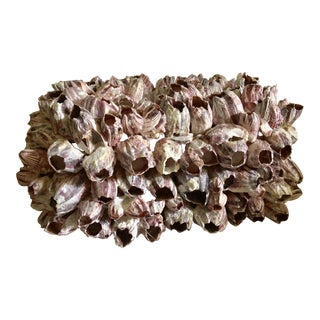 Natural Barnacle Cluster Box For Sale