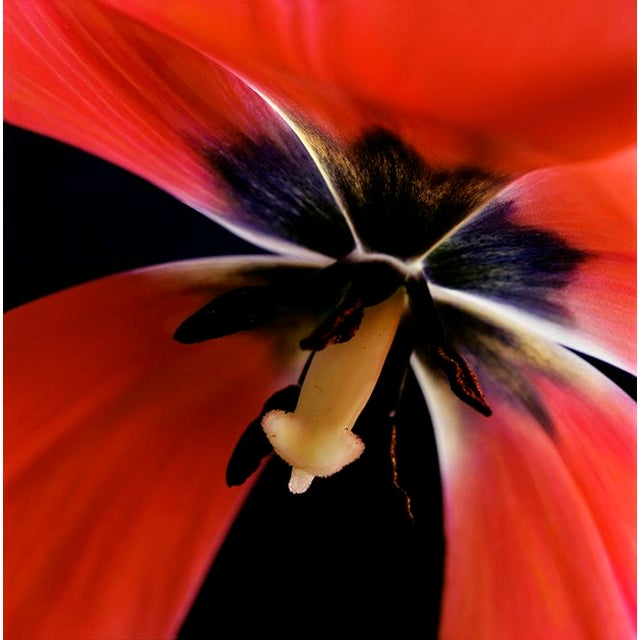 "Karen A Dombrowski-Sobel ""Inside Tulip"" Photograph - Image 1 of 5"