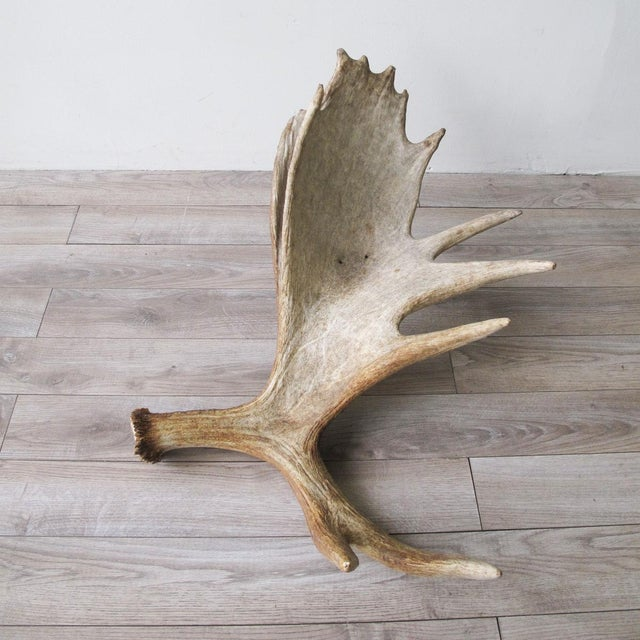 Adirondack Sun Bleached Moose Antlers A Pair For Image 3 Of 10