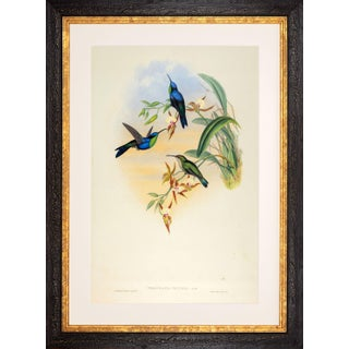 1990s John Gould Veraguan Wood-Nymph or Thalurania Venusta (Plate 105) Framed Print For Sale
