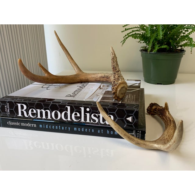 Rustic Naturally Shed Deer Antlers - a Pair For Sale - Image 3 of 10