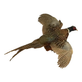Mid-20th Century Cottage Wall Mounted Taxidermy Pheasant
