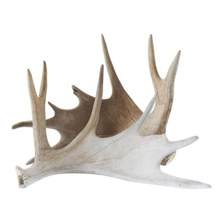 Mid 20th Century Moose Antlers - a Pair For Sale