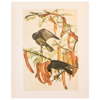 1960s Fish Crow Cottage Style Print by Audubon For Sale