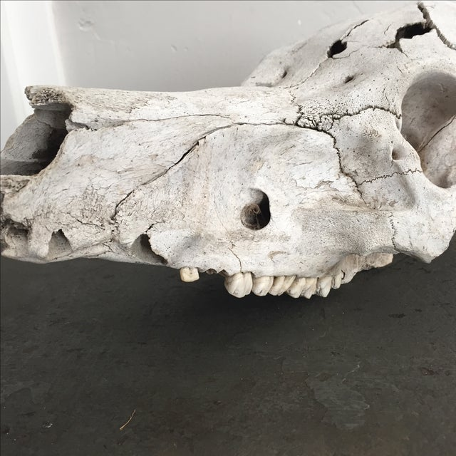 Rustic Pig Skull - Image 5 of 6