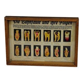 1930 Antique Scientific Teeth Specimen for Class For Sale