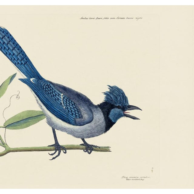American Mark Catesby Print of Crested Jay, Plate 15 For Sale - Image 3 of 3