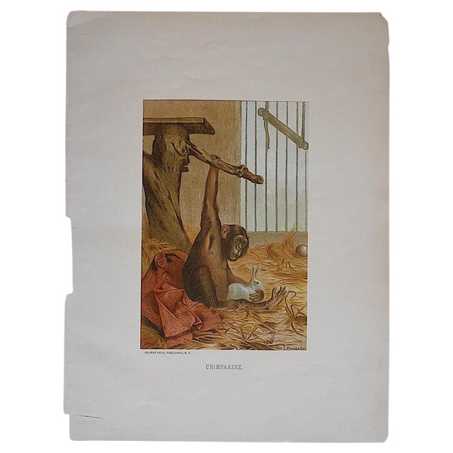 Antique Animal Chimpanzee Lithograph For Sale