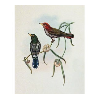 19th Century Hand-Colored Birds Engraving Print by John Gould