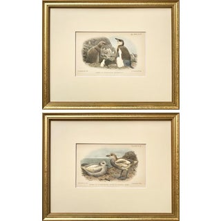 Antique Original Color Lithographs a Pair of Baby Chick Arctic Birds by Ibis C.1900 For Sale
